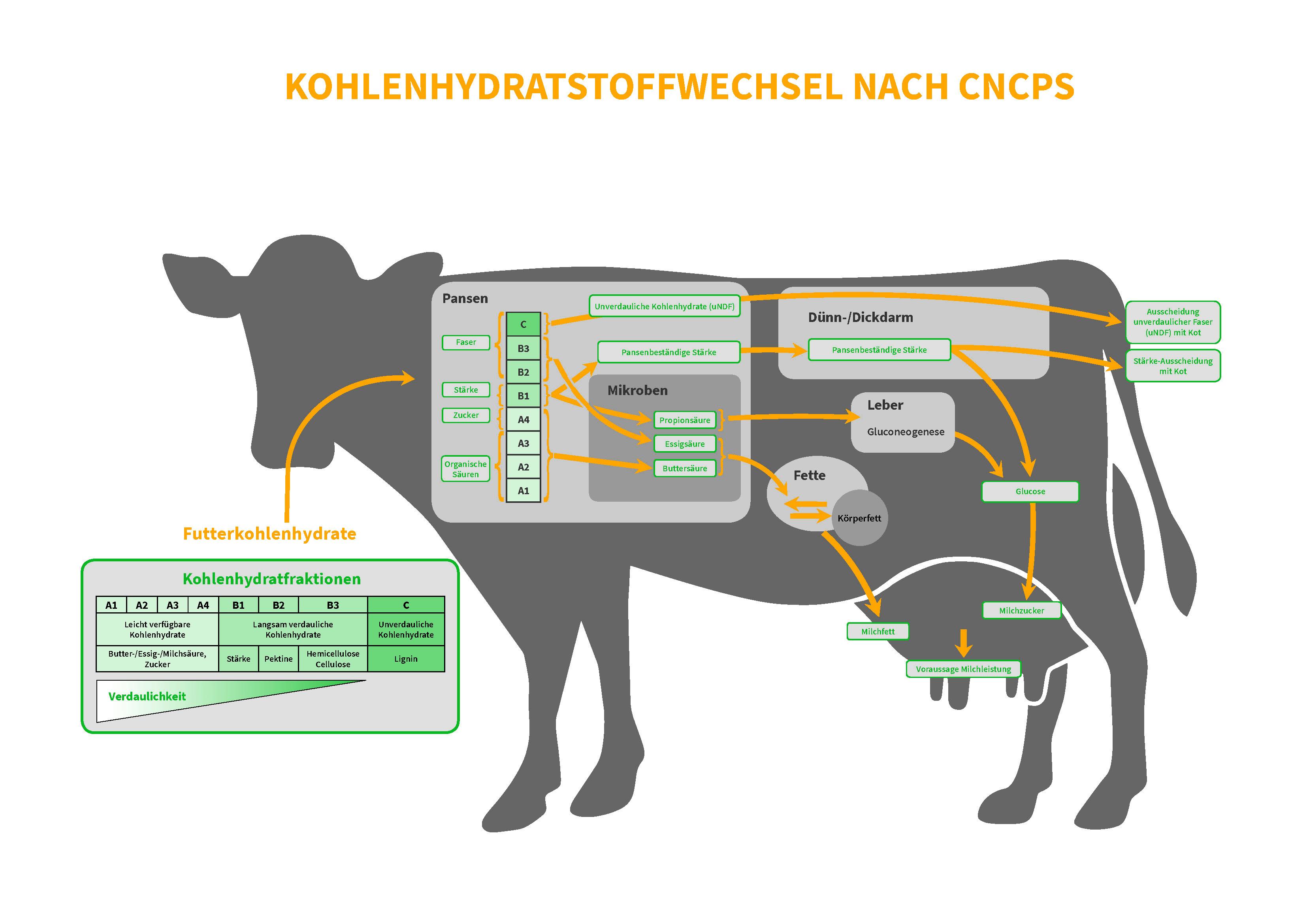 Sano24_Blog_Beitrag_Grafik_CNCPS_Kohlehydrate_Stoffwechsel_Kuh