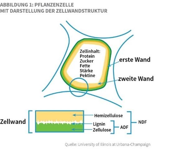 Sano24_Blog_Beitrag_Grafik_Blog_Faser_im_Futter_verstehen_Pflanzenzelle_Zellwandstruktur