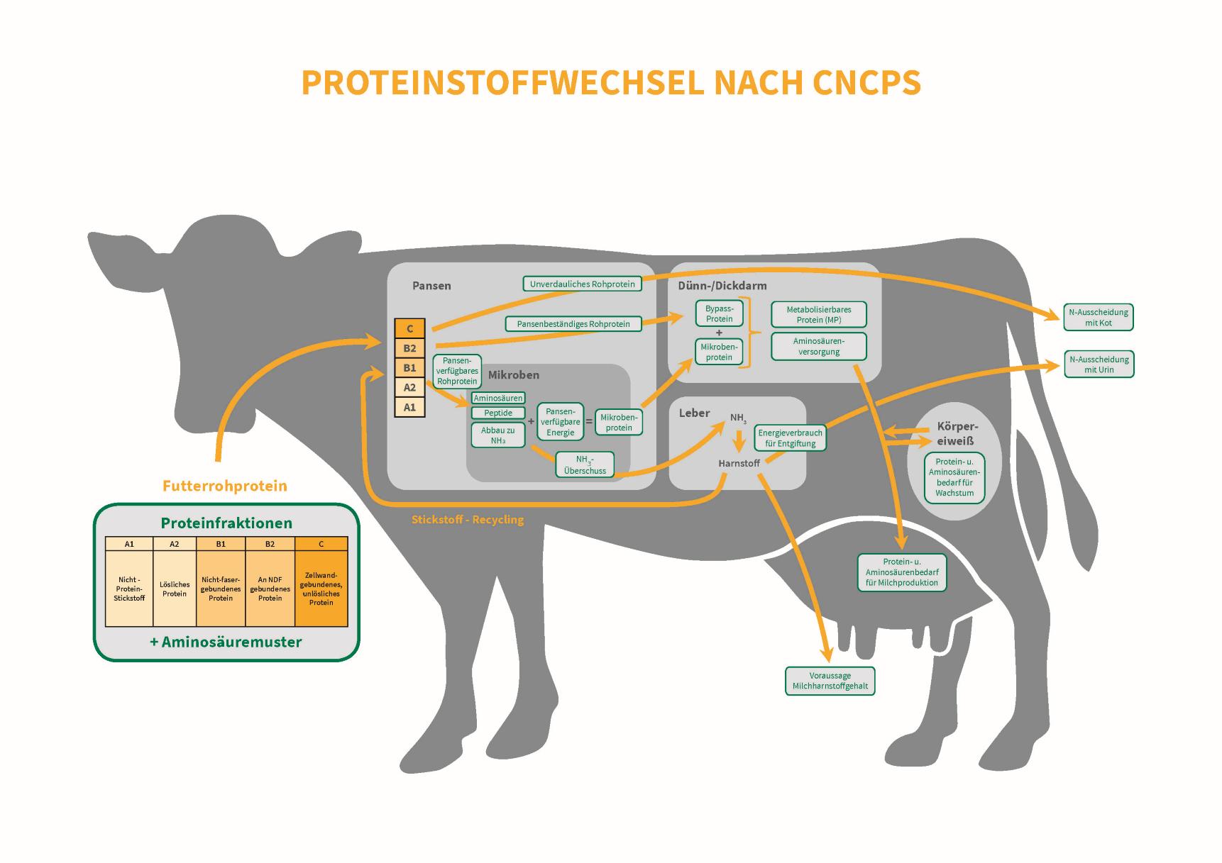 Sano24_Blog_Beitrag_Grafik_CNCPS_Protein_Stoffw_Kuh