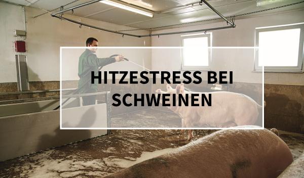 Sano24_Blog_Teaser_Hitzestress_bei_Schweinen